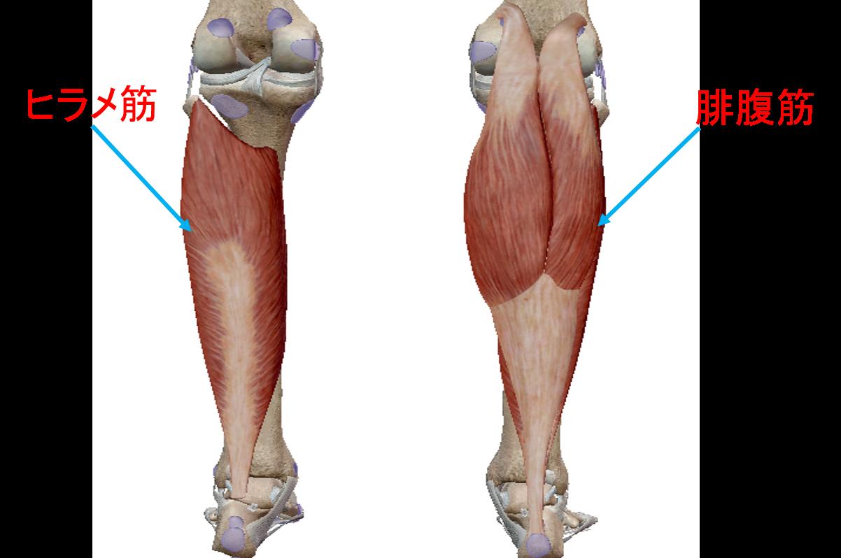 下腿三頭筋 筋肉