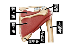 【野球で大事な肩のインナーマッスル】効果的なストレッチとは?